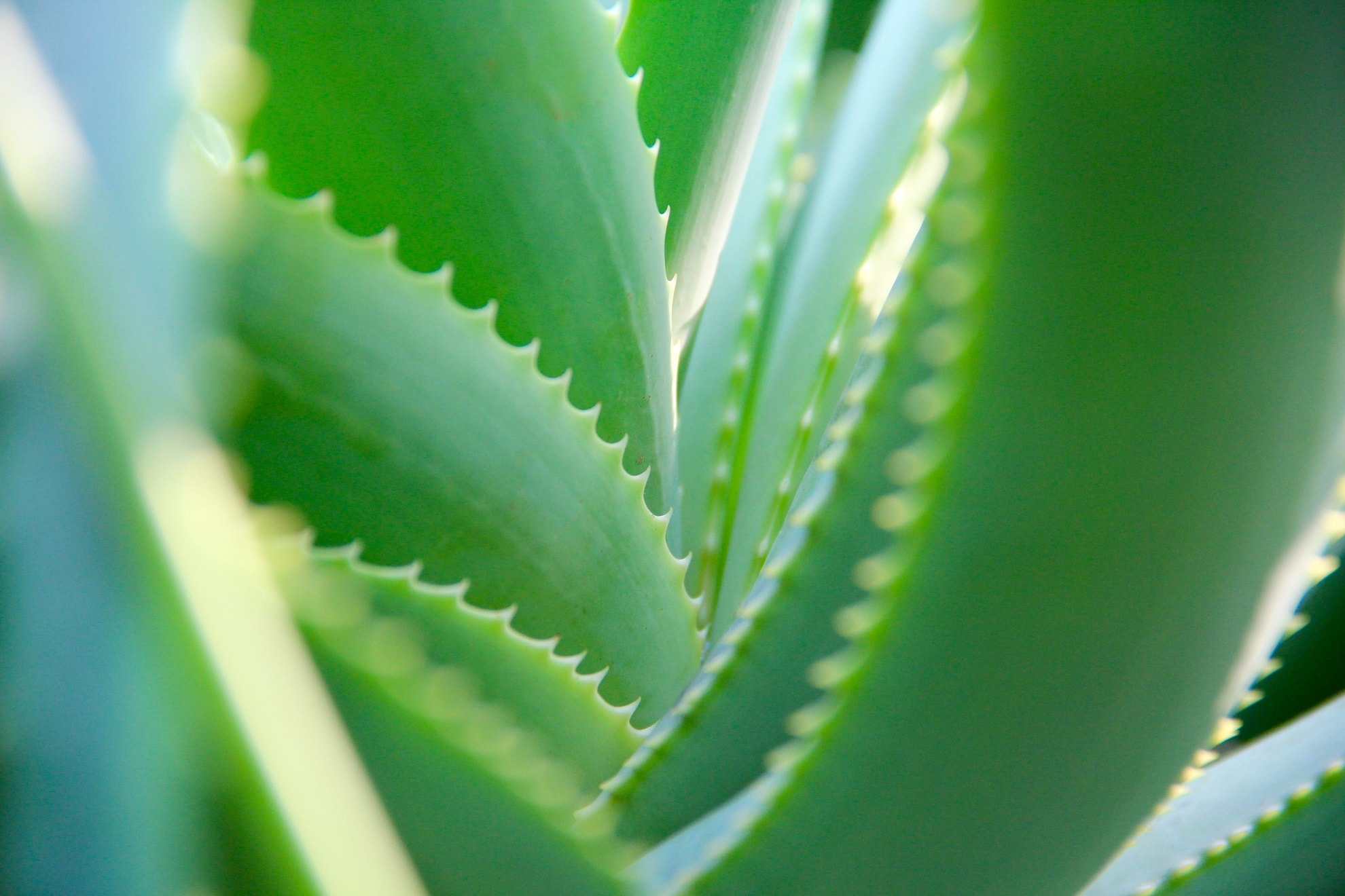 Alavijas (Aloe Vera) ir jo nauda sveikatai
