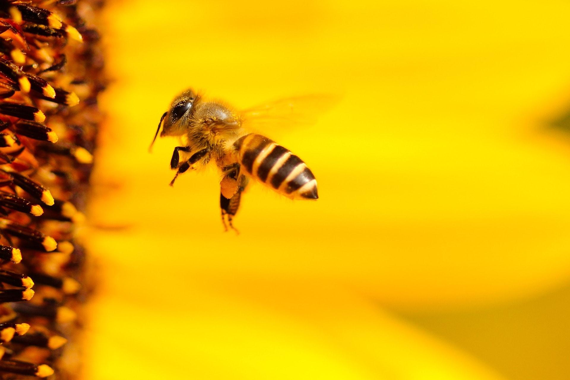 bičių duona nuo hipertenzijos kaip vartoti
